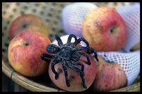 A tarantula on an apple in Skuon (otherwise known affectionately as Spiderville).