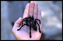 A tarantula in the photographer's hand.
