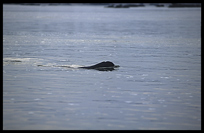A very rare Irrawady dolphin in the Mekong River, Kratie, Cambodia
