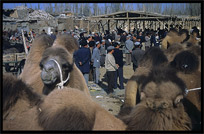 Camels for sale at the Sunday Market. Hotan, Xinjiang, China