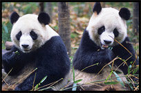 Pictures of Pandas (Chengdu)