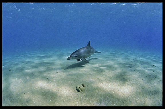 A wild dolphin in the Gulf of Aqaba (Egypt) near the Bedouin village Mizela.