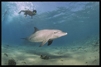 Swim with wild dolphins. Diving in the Red Sea between Sharm el Sheikh and Nuweiba, Egypt