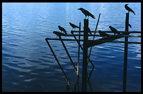 Silhouettes of black crows on Inya Lake in Yangon.