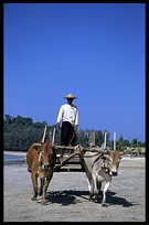A Burmese driving his oxcart on the beach of Ngapali.
