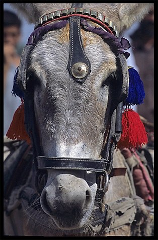 A donkey at the Afghan horse market. Peshawar, Pakistan