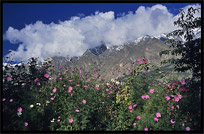 Flowers in the Hunza Valley, seen from Karimabad. Karimabad, Hunza, Pakistan