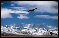 A black crow with the Nyenchen Tanglha massif in the background. Nam Tso, Tibet, China