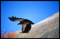 Vultures and eagles approach Drigung Til monastery during a sky-burial. Tibet, China