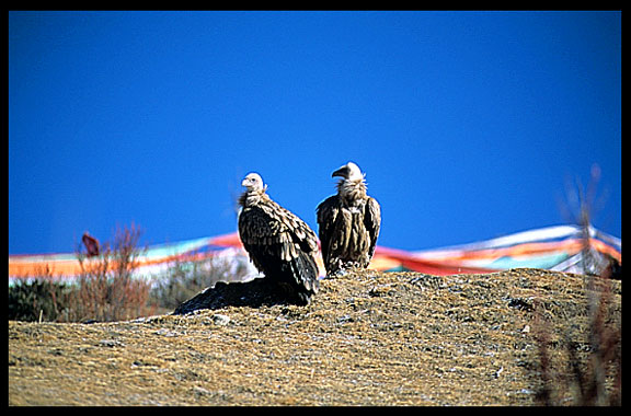 Vultures and eagles approach Drigung Til monastery during a sky-burial.